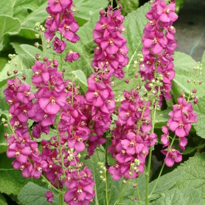 Verbascum 'Royalty'