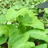 Xanthosoma 'Lime Zinger'