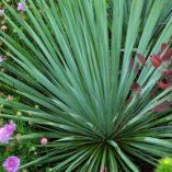 Yucca 'Sapphire Skies'