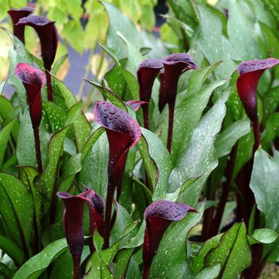 Zantedeschia 'Edge of Night'