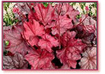 Crazy About Coral Bells! (and Their Allies)