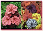 Hot Heucheras and Their Uses