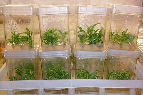 Plants in Tissue Culture