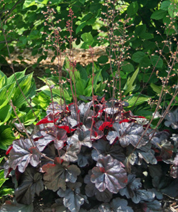 Heuchera 'Obsidian' Flowering