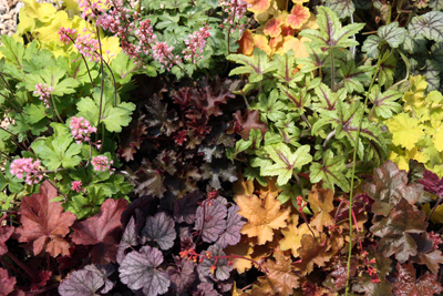 Heuchera Assortment