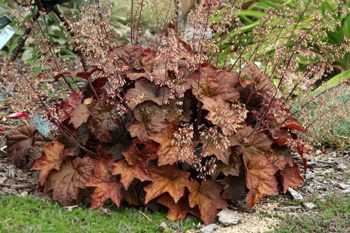 Heuchera 'Palace Purple' looking more coppery than purple!