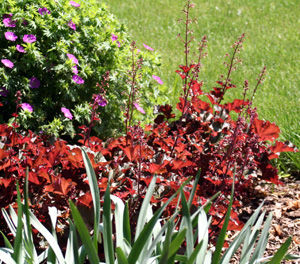 Heucheras offer foliar color and contrast in the landscape.