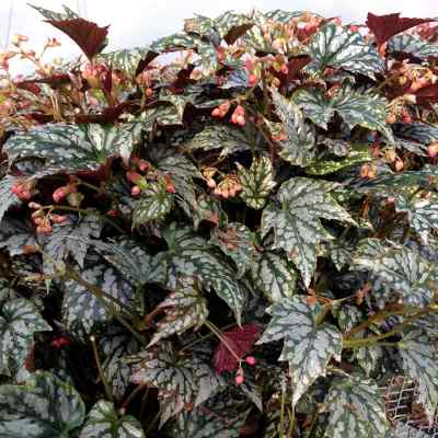 Begonia HOLIDAY™ 'Jolly Holly'