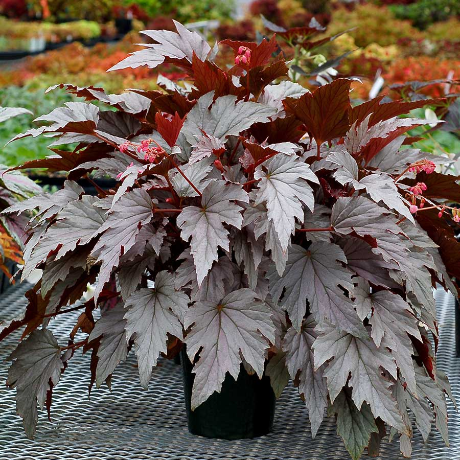 Begonia HOLIDAY™ 'Silver Bells'