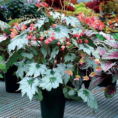 Begonia HOLIDAY™ 'Snowflake'