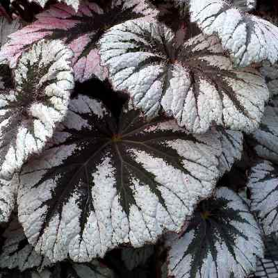 Begonia HOLIDAY™ 'Spirit'