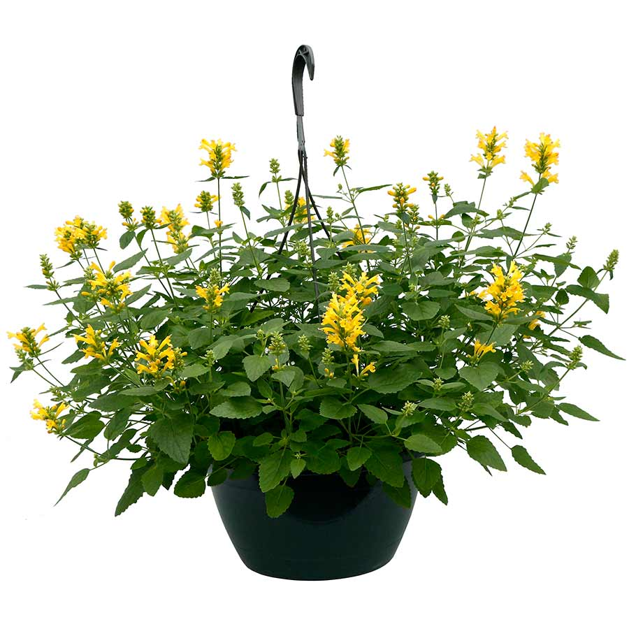 Agastache POQUITO™ Butter Yellow
