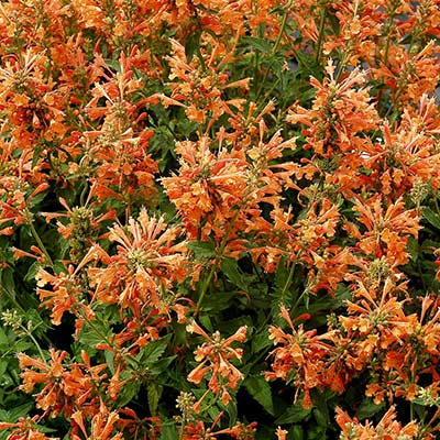 Agastache POQUITO™ Orange