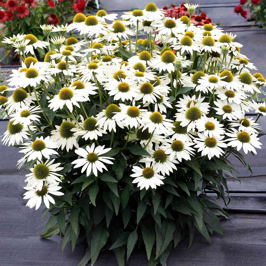 Echinacea KISMET™ White