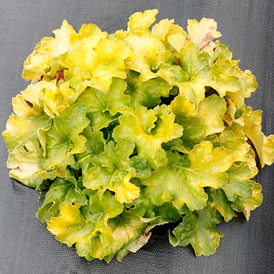 Heuchera 'Lemon Supreme'