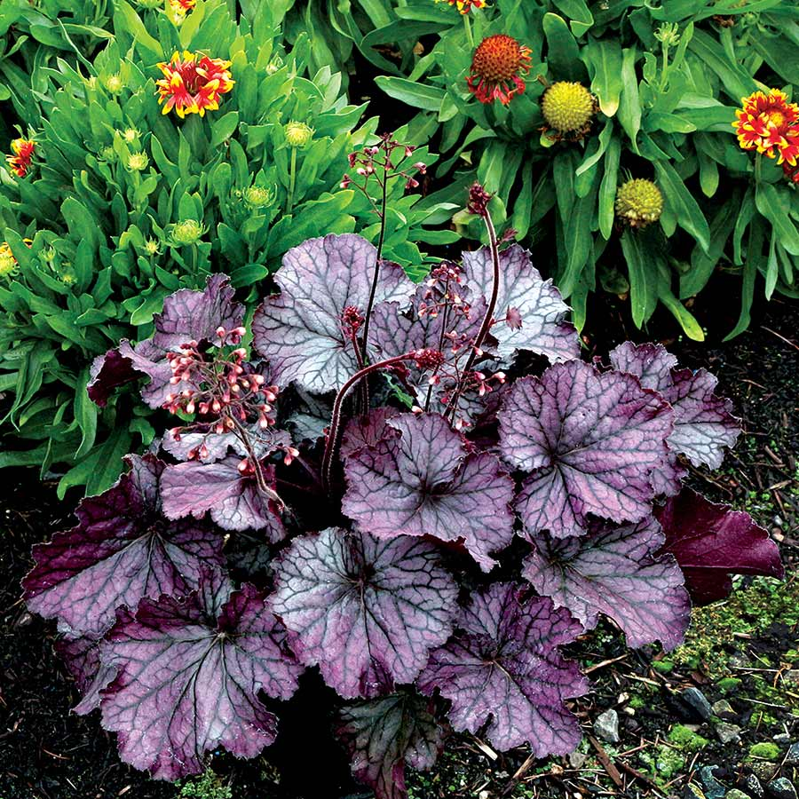 Heuchera hybrid NORTHERN EXPOSURE™ Purple