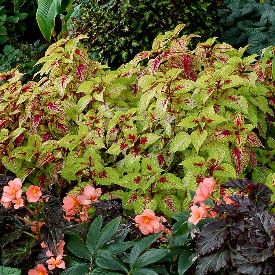 Coleus COLOR CLOUDS™ 'Hottie'