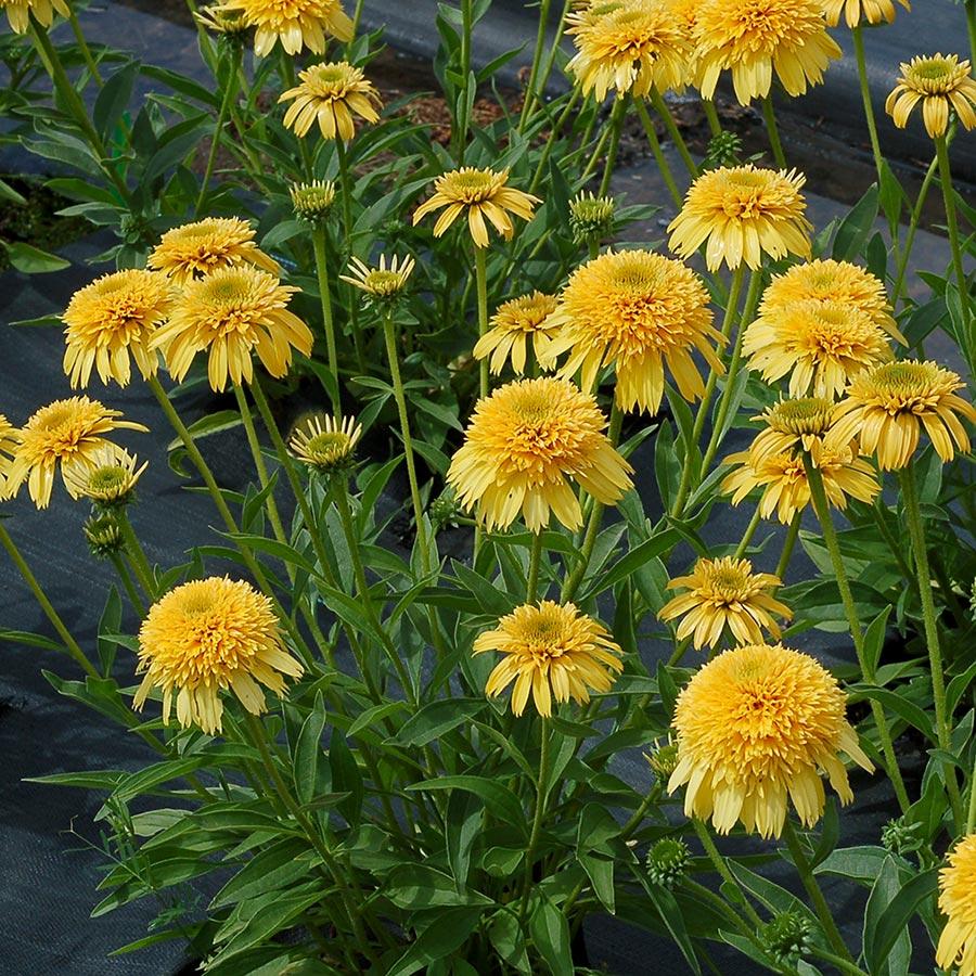 Echinacea CARA MIA™ Yellow