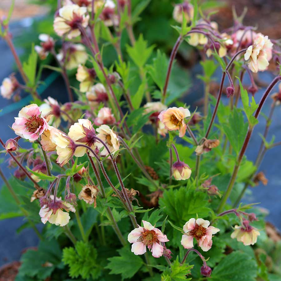 Geum TEMPO™ Yellow