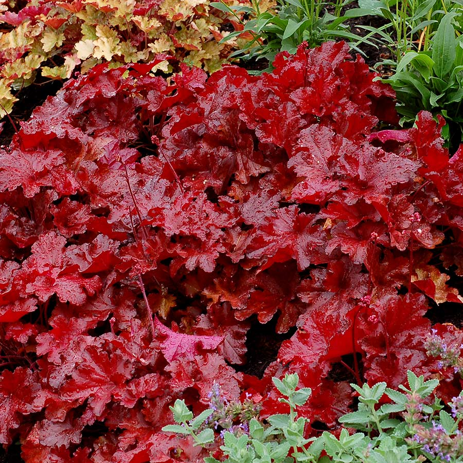 Heuchera FOREVER® Red