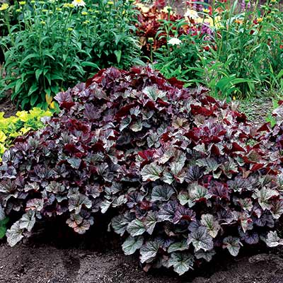 Heuchera NORTHERN EXPOSURE™ Silver