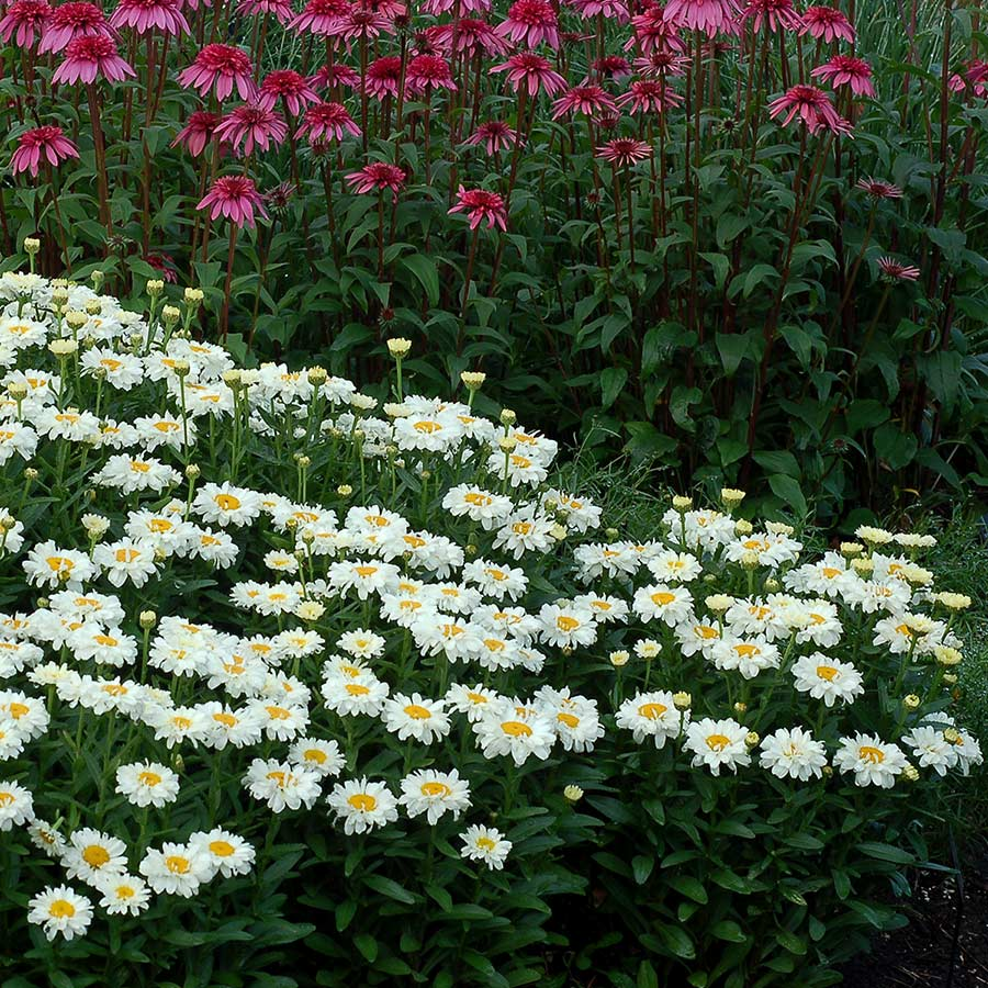 Leucanthemum 'Adorable'