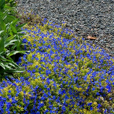 Lithodora GOLD 'N SAPPHIRES™