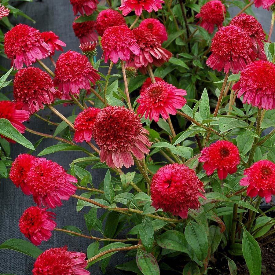 Echinacea PASO DOBLE™ Fuchsia