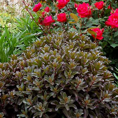 Sedum 'Orbit Bronze'