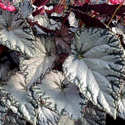Begonia SILVER™ Lace