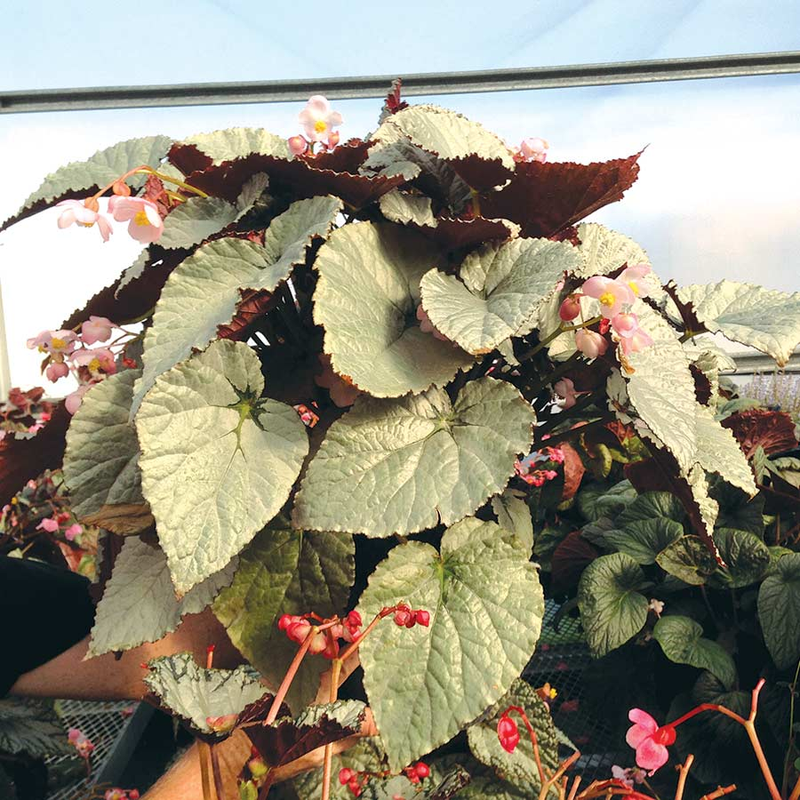 Begonia SILVER™ Treasure