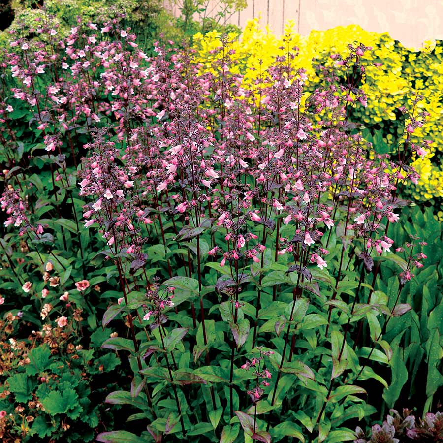 Penstemon DAKOTA™ Verde