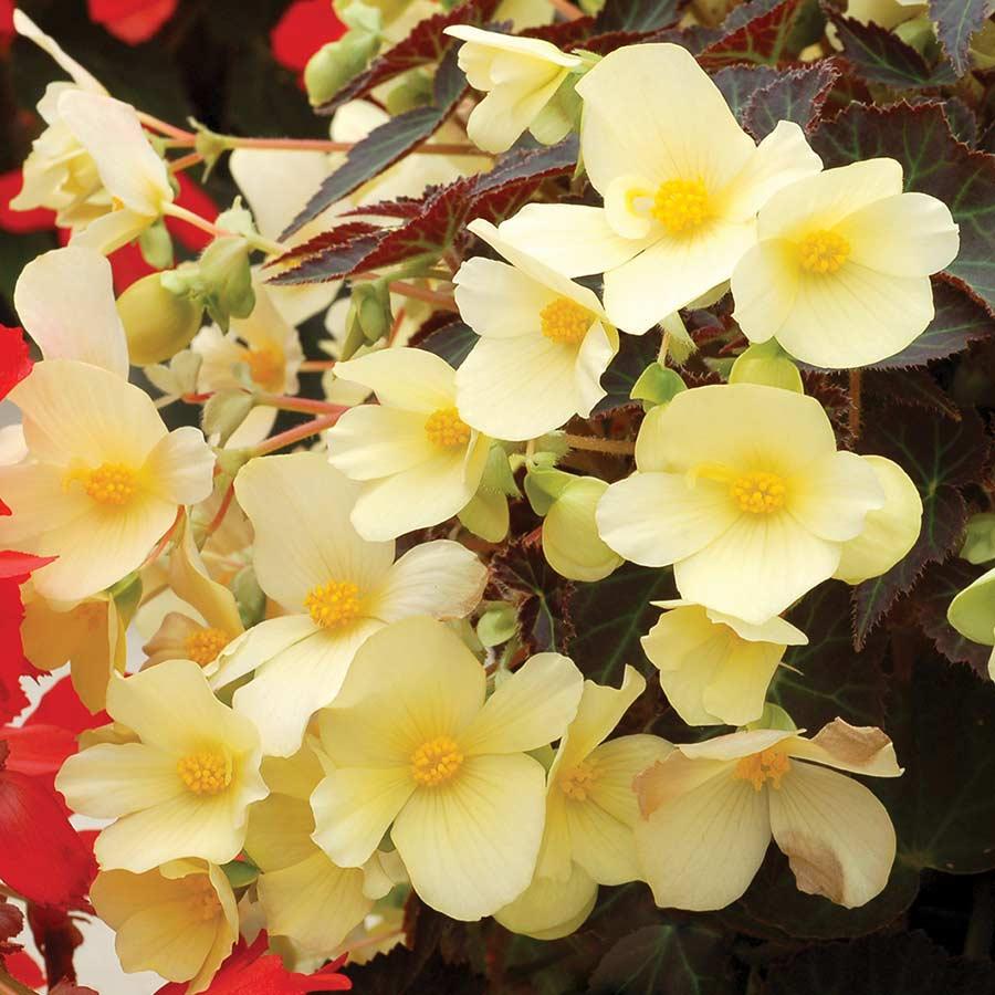 Begonia DAYSTAR™ Primrose