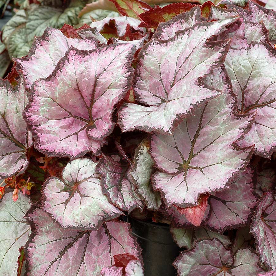 Begonia SHADE ANGEL™ Pearl