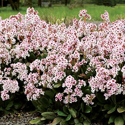 Bergenia DRAGONFLY™ 'Angel Kiss'