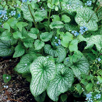 Brunnera ALCHEMY™ Pewter