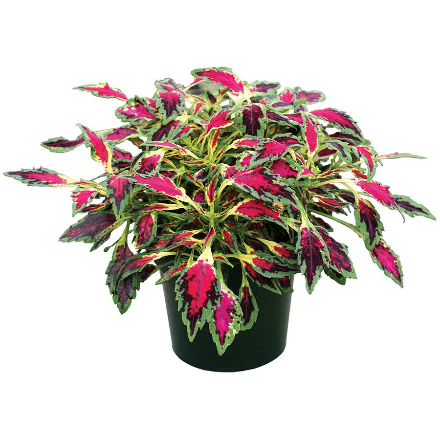Coleus TERRA NOVA® 'Magic Spell'
