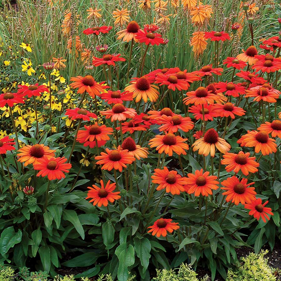 Echinacea KISMET™ Intense Orange