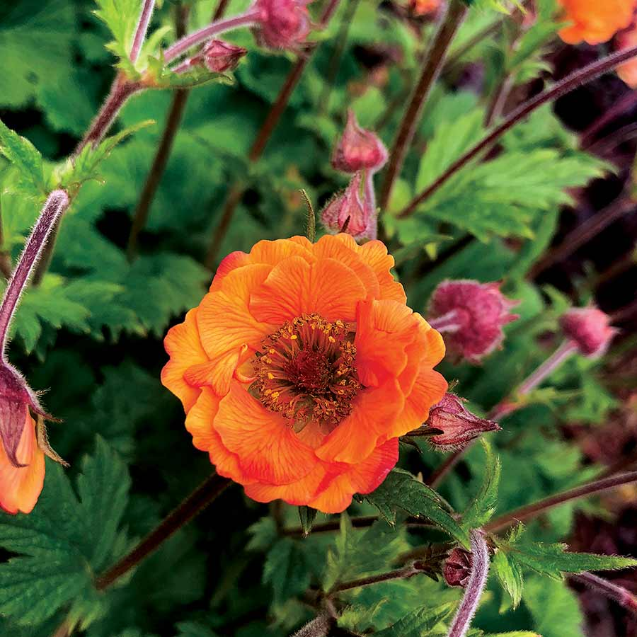 Geum TEMPO™ Orange