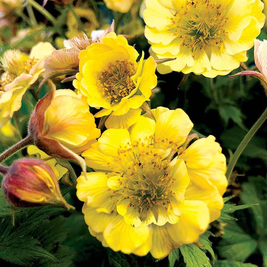 Geum TEMPO™ Yellow