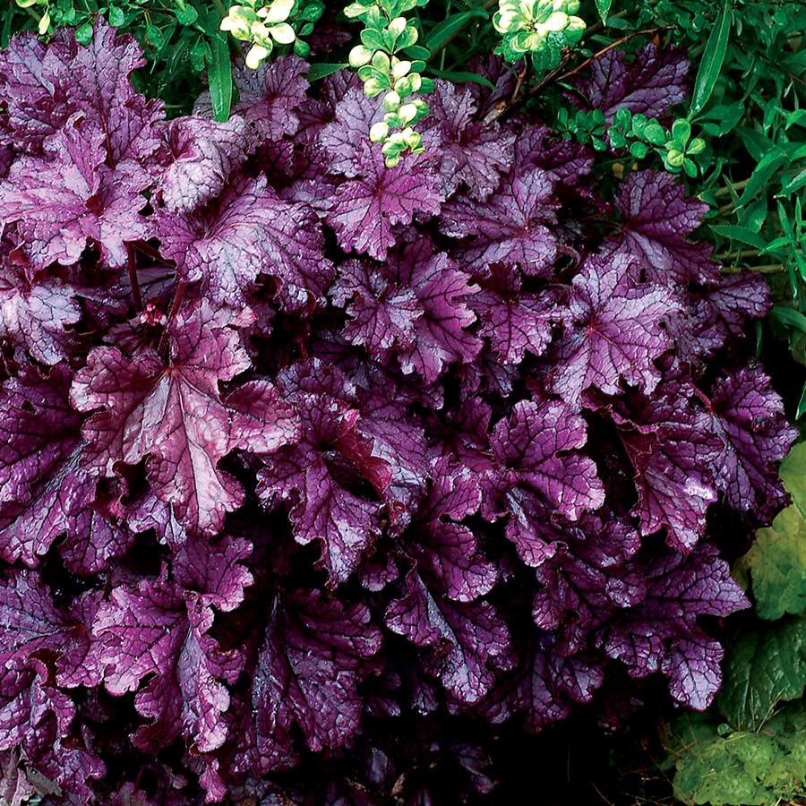 Heuchera FOREVER™ Purple