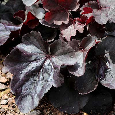 Heuchera NORTHERN EXPOSURE™ Black