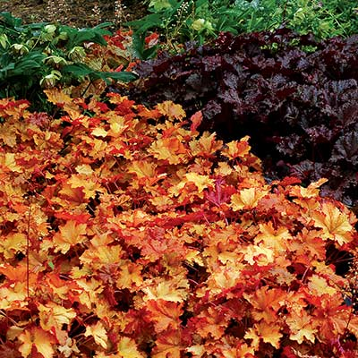 Heuchera 'Zipper'