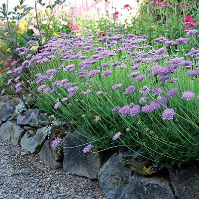 Scabiosa Vivid Violet Terra Nova 174 Nurseries Inc