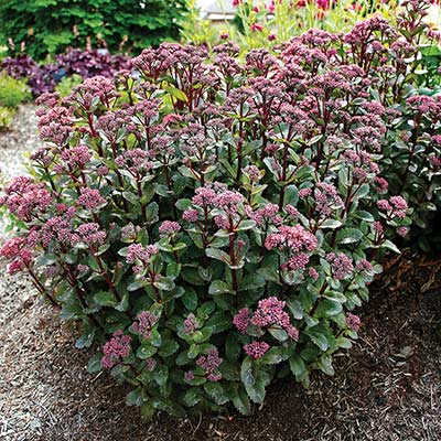 Sedum 'Double Martini'