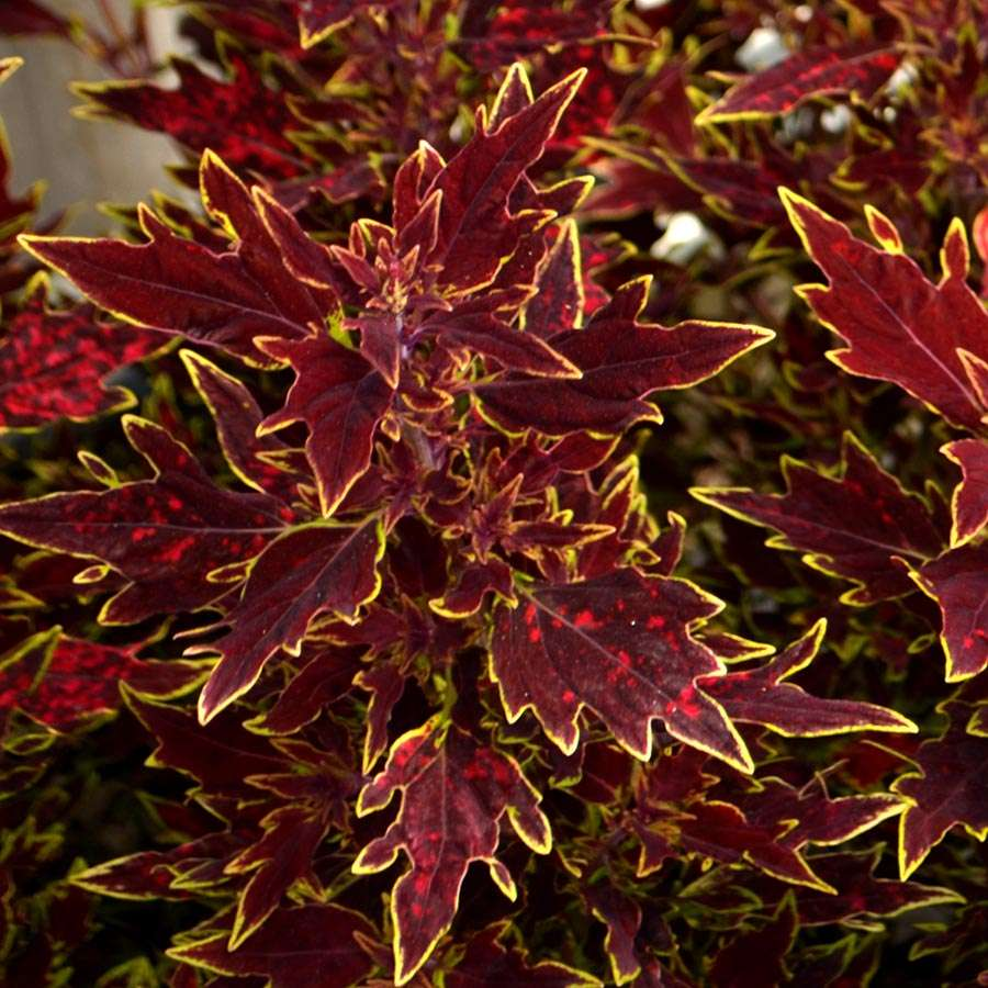 Coleus-Flying-Carpet-Sultan-1