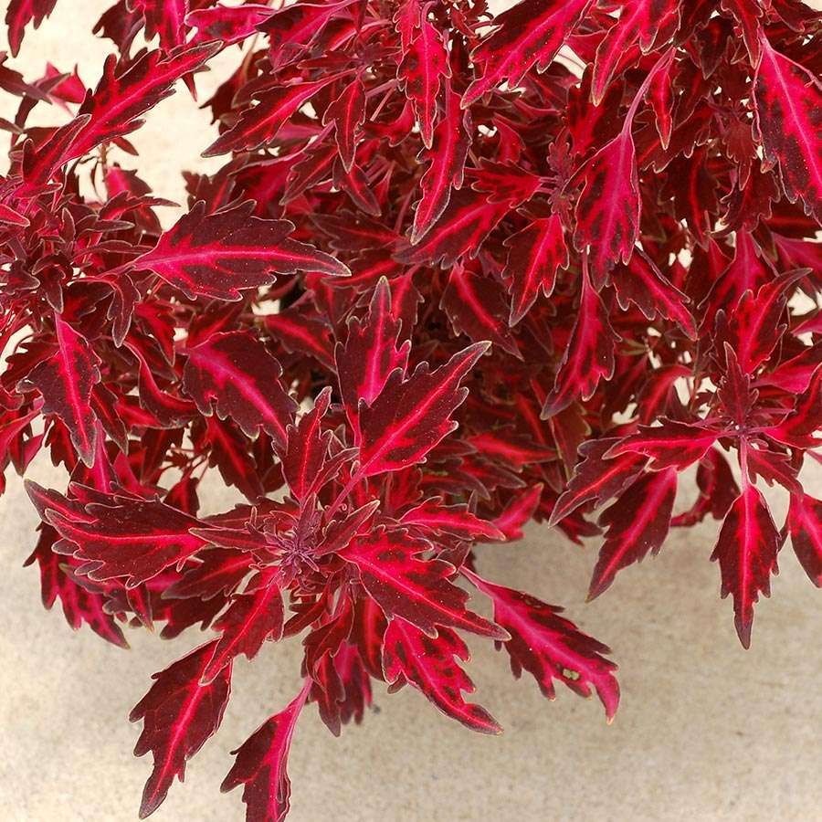 Coleus NOVA® 'Red Flare'