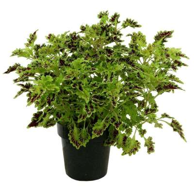 Coleus TERRA NOVA® 'Smooth Talker'
