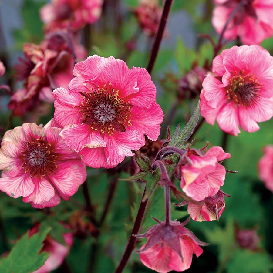 Geum TEMPO™ Rose