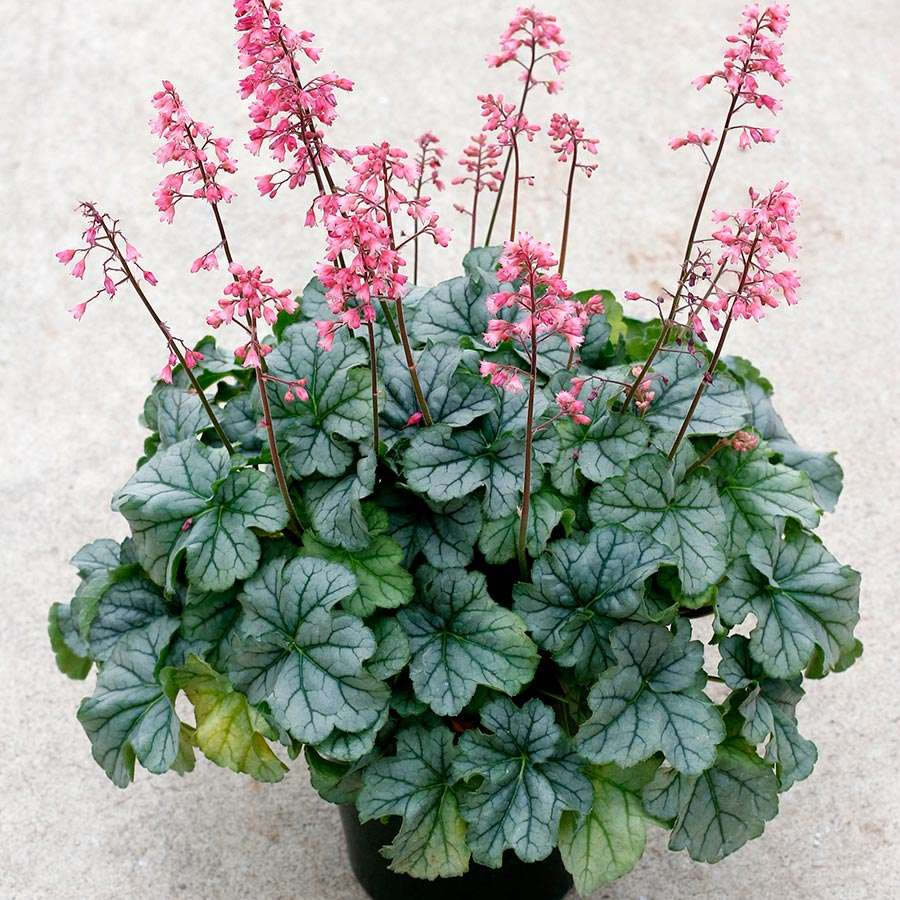 Heuchera LITTLE CUTIES™ 'Shimmer'